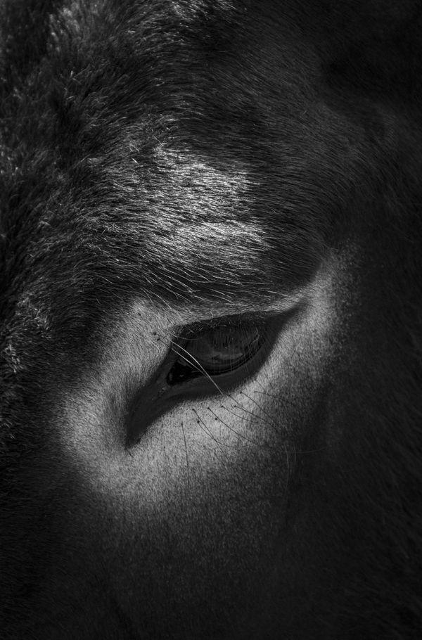Eye of a Wild Donkey thumbnail