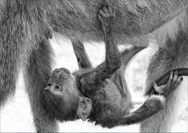 Lifestyle of a baby olive baboon thumbnail