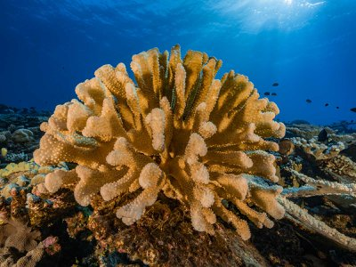 A healthy coral reef in the South Pacific. Coral reefs may migrate to new area as the climate warms.