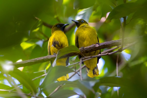 A pair Of Andaman Bulbul lazing after food thumbnail