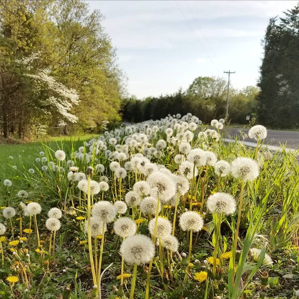 Dandelions on the side of the road thumbnail