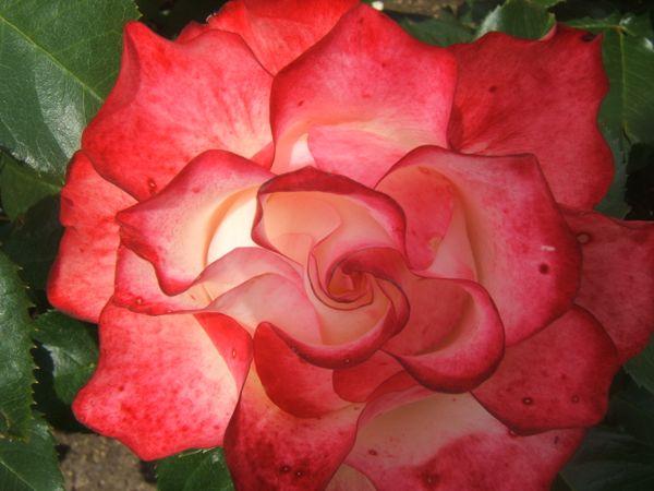 A Beautiful Rose! thumbnail