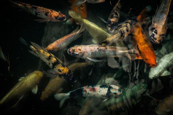 Koi fishes at the pond thumbnail