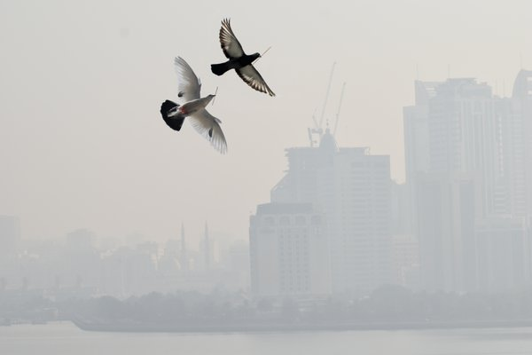 With sticks in their beaks, a pair of pigeons fly across the city skyline thick with haze thumbnail