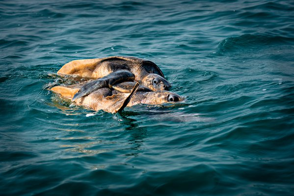 Olive Ridley Turtle Mating at sea while Floating thumbnail
