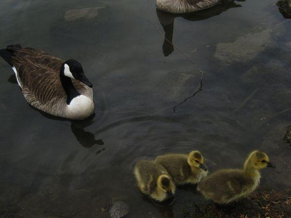Mama and baby geese thumbnail