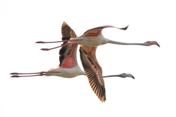 Flamingos thumbnail