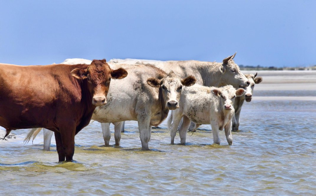 Three Cows Swept Away by Hurricane Dorian Have Been Found Alive