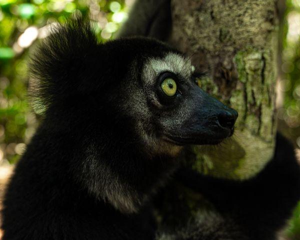 Smiling Indri Indri Lemur in Eastern Madagascar thumbnail