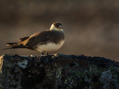 Discover why and how seabirds, like the parasitic jaeger, migrate in a virtual program on June 8. (Per Harald Olsen/NTNU, CC BY 2.0)
