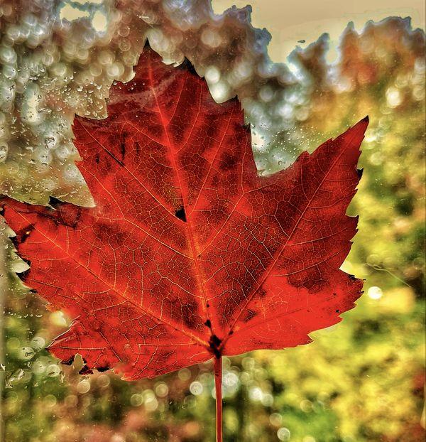 Translucent Maple Leaf thumbnail