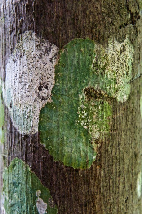 Lichen  thumbnail