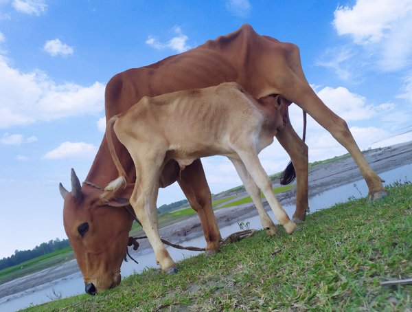 Eating grass & feeding milk under the blue sky & white clouds thumbnail