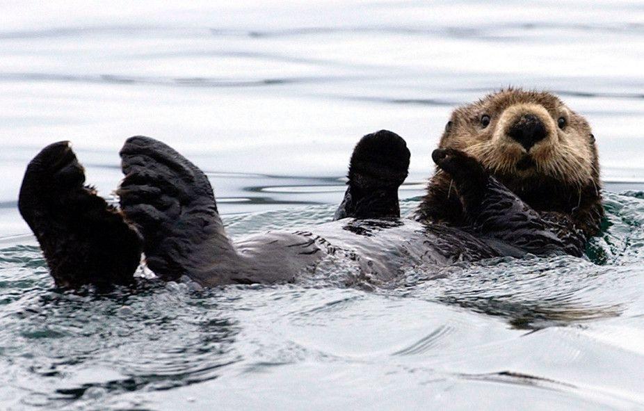 A sea otter floats in Kachemak Bay, Alaska.