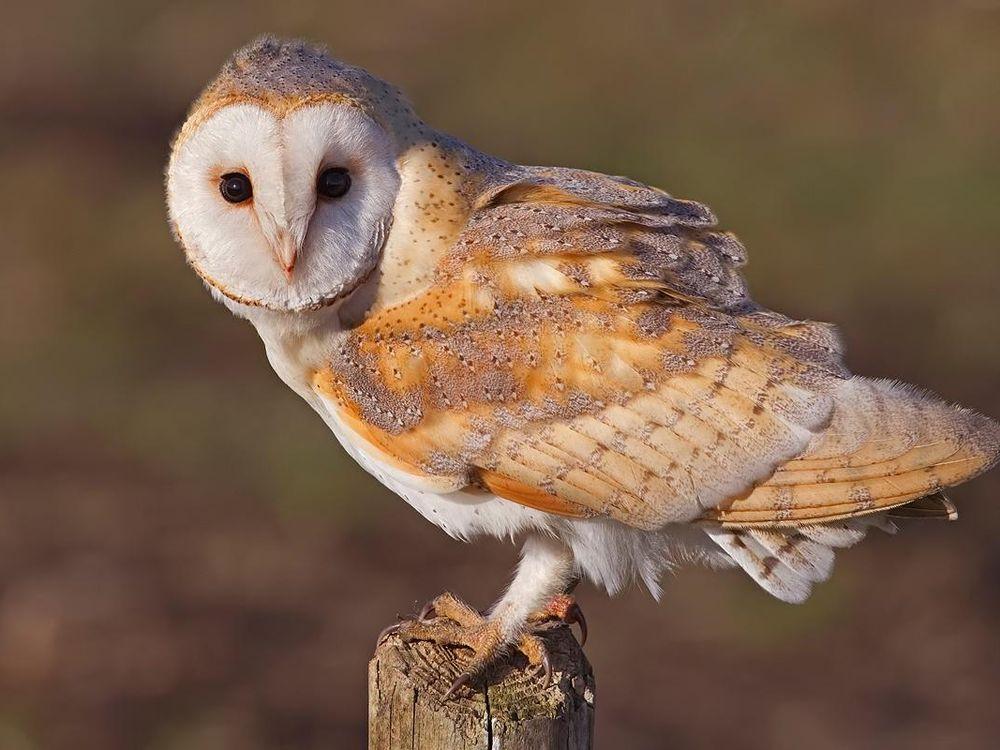 Barn_Owl,_Lancashire.jpg