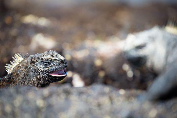 marine iguana laughing thumbnail