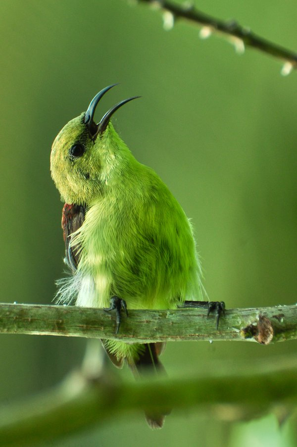 Purple Rumped Sunbird thumbnail