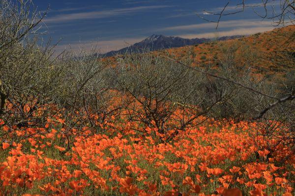 Mexican poppies near Peridot Mesa, San Carlos Indian Reservation thumbnail