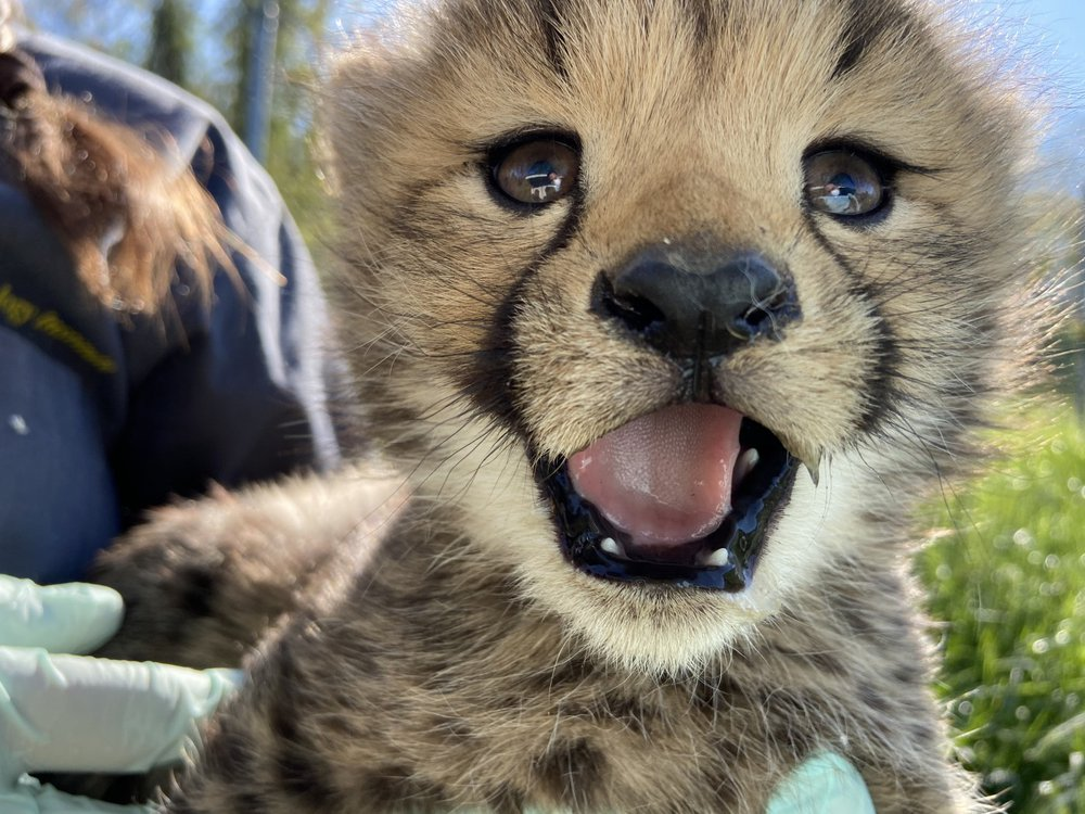 A cheetah cub at the Smithsonian Conservation Biology Institute in Front Royal, Virginia.
