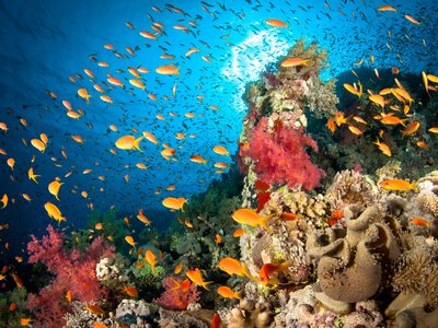 When the scientists played the sounds of healthy coral ecosystems at damaged reefs, 50 percent more species showed up than at quiet sites.