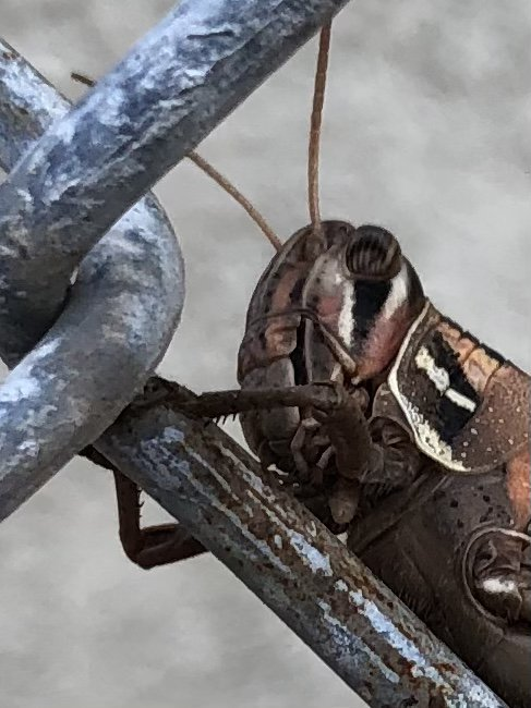 grasshopper on fence thumbnail