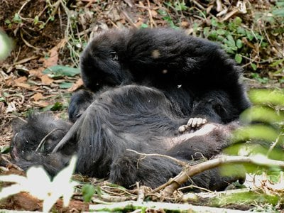 A juvenile male gorilla lingers beside his mother's body