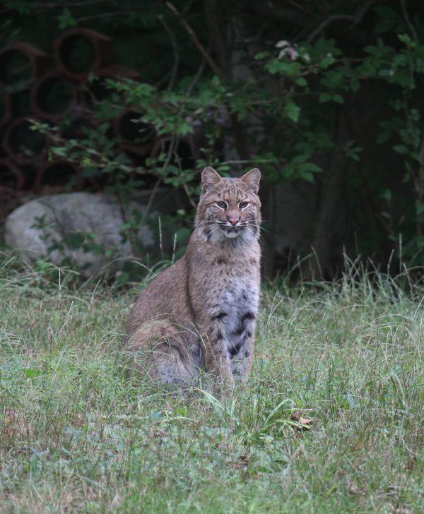 Bobcat relaxing thumbnail