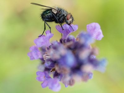 A blowfly on lavender flowers. Flies are the unsung heroes of pollination. They visit flowers to stoke up on energy-rich nectar and protein-rich pollen and transport pollen from flower to flower in the process.