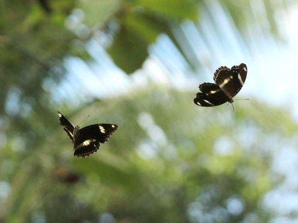 Dancing Butterflies thumbnail