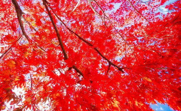 Acer Palmatum thumbnail