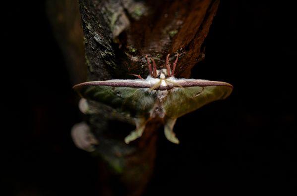 Luna Moth on Birch thumbnail