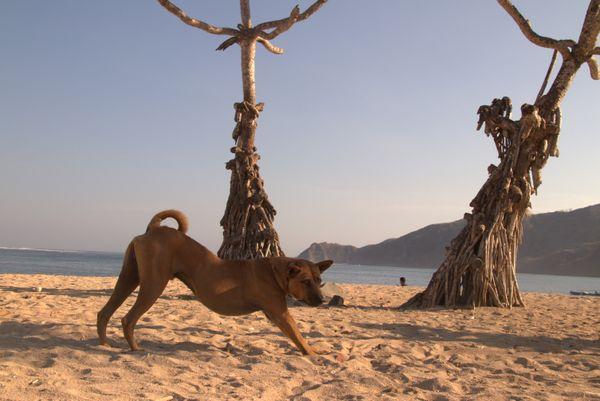A Dog in a relax mood at Mandalika Beach, Lombok thumbnail