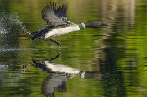Loon Running On Water Preparing For Take Off. thumbnail