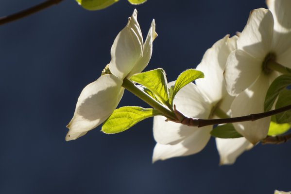 Blooming Dogwood flower in Yosemite National Park thumbnail