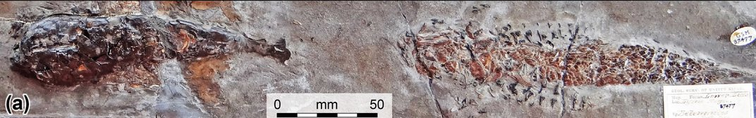 200-Million-Year-Old Fossil Captures Squid Viciously Entangled With Its Prey
