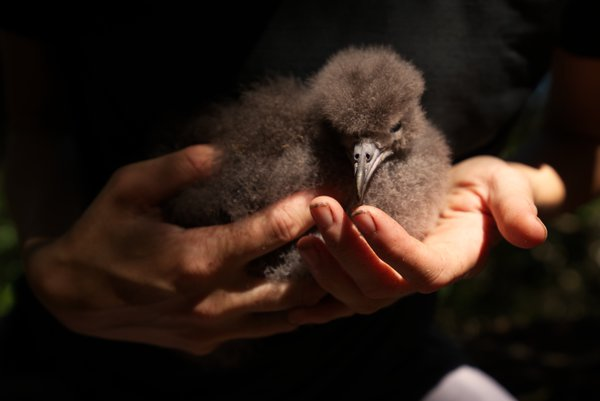An ecologist cradles a flesh-footed shearwater chick on a quest for conservation thumbnail