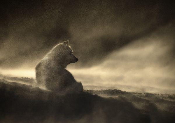 Greenland Dog Lying in a Snow Drift as the Sun Rises thumbnail
