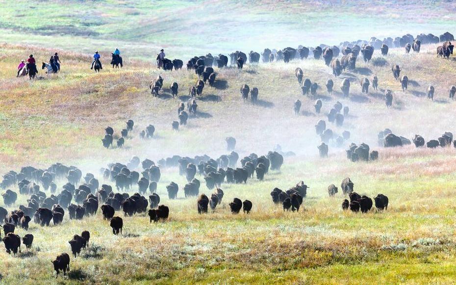 Buffalo Roundup, South Dakota