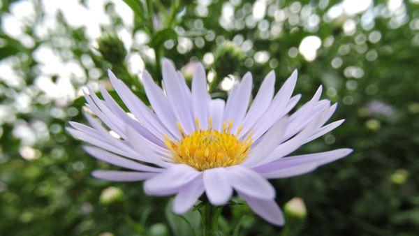 Purple daisy thumbnail