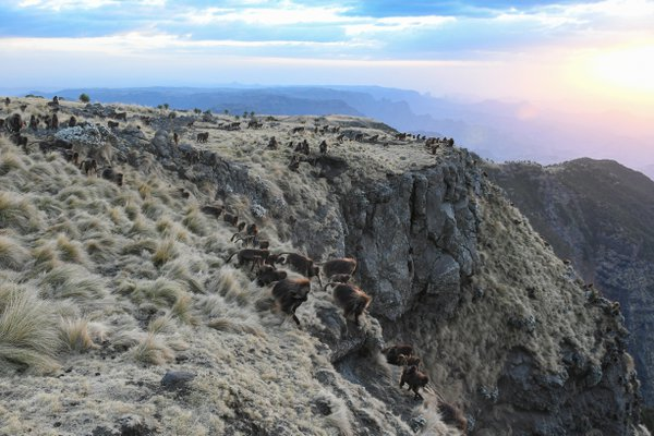 Gelada baboons at a Simien Mountains sunset thumbnail