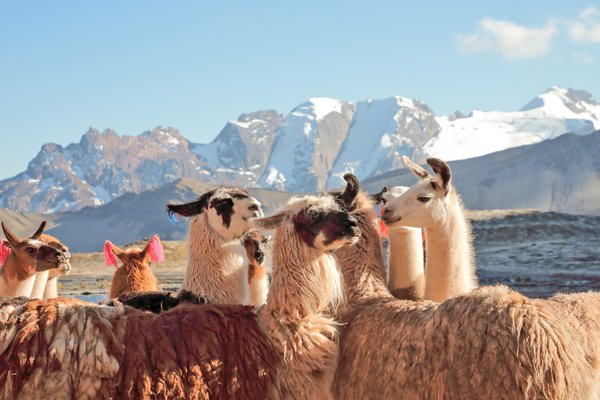 Lamas and Glaciers in the Andes thumbnail