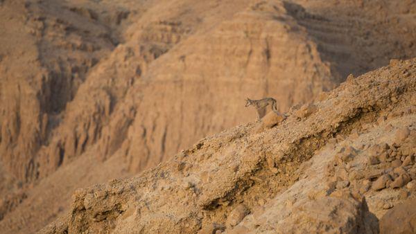 Desert wolf thumbnail