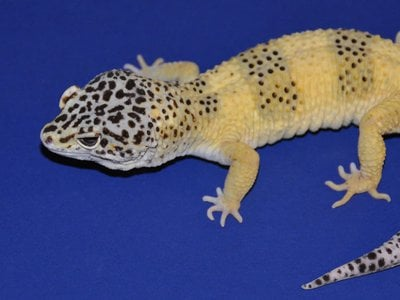 Out of the 900 baby lizards created by breeding Mr. Frosty (pictured above) with various other leopard geckos, 80 percent developed tumors before they were five years old.
