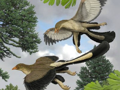 Archaeopteryx had a wing that was different from that of modern birds, and, as seen here, might have been a glider more than a powered flyer.