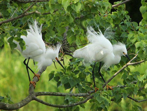 Snowy Egrets in Breeding Plumage thumbnail
