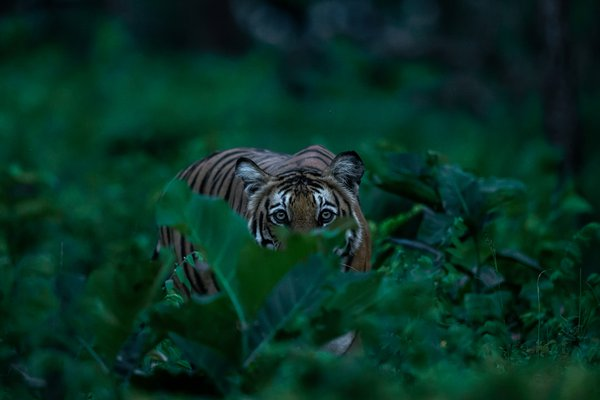 A tiger close up through dense foliage in a monsoon evening thumbnail