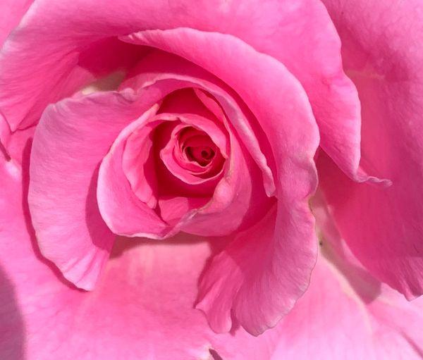 Unforgettable Hybrid Tea Rose thumbnail