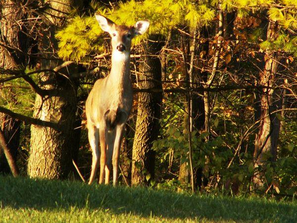 A young doe keeps alert at Fort Benjamin Harrison State Park. thumbnail
