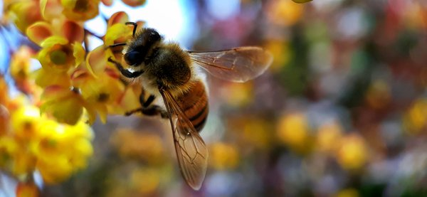The bee that collects nectar from flowers thumbnail