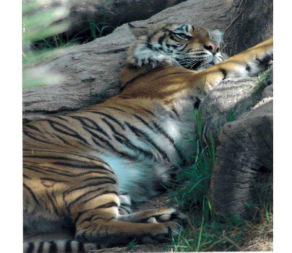 Lazy Mama Tiger thumbnail